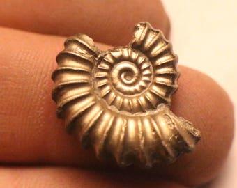 20mm Promicroeras iron pyrite ammonite fossil found on the Jurassic coast UK  0313