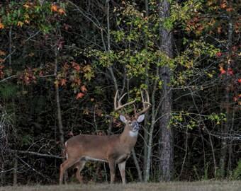 Whitetail Buck 2