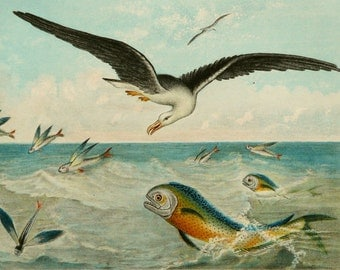 1882 Antique print of FLYING FISHES. Albatros. Flying Fish. Seabirds. Birds. Ornithology. Sea Life. 134 years old gorgeous lithograph.