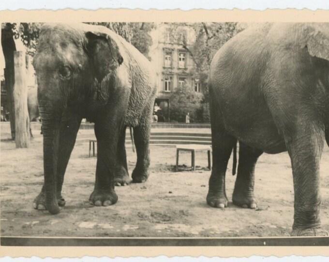 Vintage Snapshot Photo: Elephants, c1950s (610512)