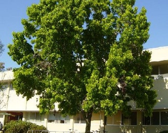American Sweetgum Tree Seeds, Liquidambar styraciflua - 25 Seeds