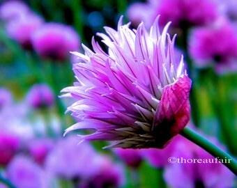 Chive Blossom Fine Art Photograph Floral Botanical Home Decor