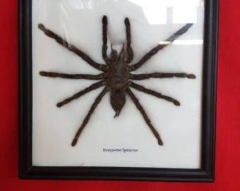 EURYPEIMA SPINICRUS Tarantula Display Real Insect Bug Taxidermy Entomology spider