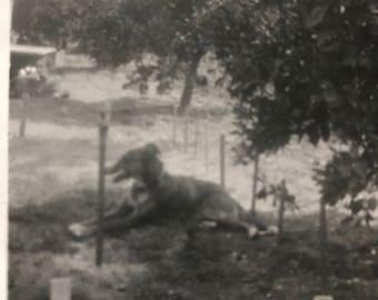 Vintage original  Dog photo