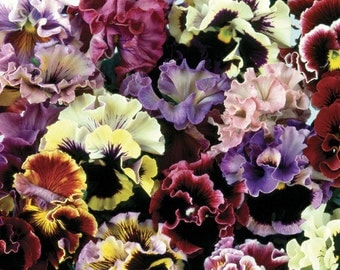 APA) CAN CAN Mix Pansy~Seeds!!!!!~~~~~Premiere Pansy Mix!!