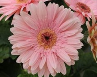ADGR)~REVOLUTION PALE Pink Gerbera Daisy~Seed!!~~~~~Lovely Pastel Color!