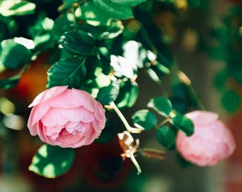 Pink Camellia Flower Photography Print - Camellias, Pastel, Spring, Flowers, Trees, California,