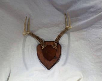 Deer Antlers and Deer Skull, Great Vintage Decor or Repurpose as Jewelry Display