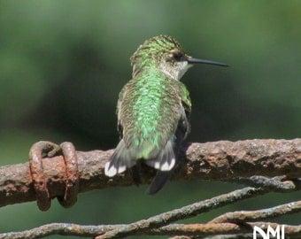 Original Digital Hummingbird Photograph for Instant Download