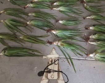 "The Real Deal ""Aloe Vera Barbadensis"""
