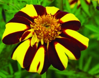 French Marigold Court Jester * Heirloom!! 25 Seeds