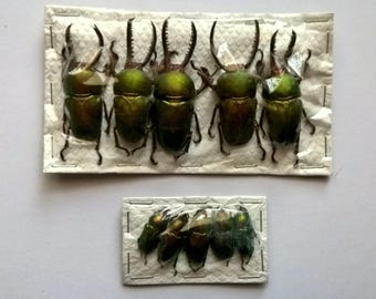 Wholesale 5 x Lamprima Adolphinae Pairs -  Taxidermy - Unmounted - Ready To Rehydrate - Artwork