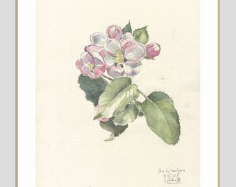 Apple blossom drawing - ORIGINAL watercolor and pencil drawing of apple blossom - botanical art - Floral  illustration by Catalina