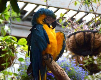 Macaw Parrot Photography Bird Canvas Photo Blue and Yellow