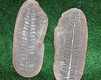 PECOPTERIS; Fossil Fern Hrom Illinois