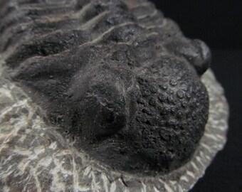 Fossil Trilobite - Drotops megalomanicus - Issoumour, Morocco - Fossil Arthropod