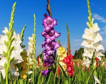 4 Giant Gladiolus  Mixed color Collection  Bulbs/Corms *Ready for Spring Planting