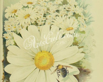 flowers-32294 - Shasta Daisies with bee on flower printable vintage JPG image picture old book illustration Daisy Bellis field many flowers