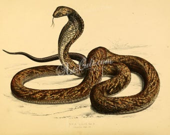 reptiles_and_amphibias-00795 - naia haje, Snouted cobra, Naja annulifera, banded Egyptian cobra vintage printable picture image illustration