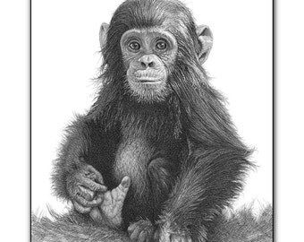 chimp art print chimps monkeys portrait monkey picture cute baby animal wall art wildlife pictures image graphite realistic pencil drawing