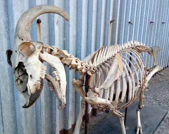Old goat skeleton