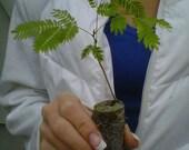 Mimosa Tree Seedlings - Albizia julibrissin - starter plugs