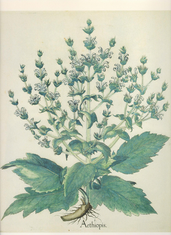 botanical book plates summer sale buy 3 get 1 free african syrian sage sclarea broad