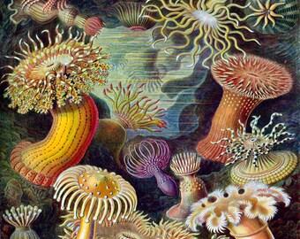 Vintage Ernst Haeckel Actiniae No. 1, Giclee, Art Print, Nautical Art, Beach Decor, Coastal Art, Print, Natural History Art, Illustration