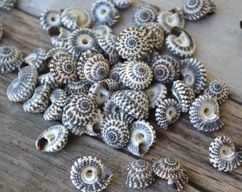 Heliacus Snail Shells, Helliacus Bariegatus | 10 Pieces