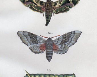 Vintage Insect Print Hawk Moth Sphinx Moth Print 1854 Antique Bug Print Custom Matted 11 X 14 Entomology