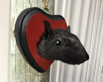 Squirrel Head Mount 007- Taxidermy Male on Red/Black Plaque