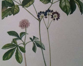 Dwarf ginseng and wild sarsaparilla, antique botanical litho print, 1954