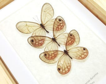 FREE SHIPPING Real Framed Cithaerias Aurorina Satyr Glasswing Butterfly Taxidermy High Quality A1