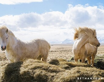 Icelandic Horses #1 11x14 Matted Print
