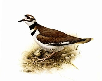 Killdeer painted by J F Landsdowne for the book Birds of the Eastern Forest. The page is 11 1/2 wide and 15 inches tall.