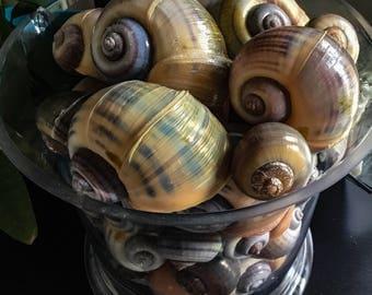 Large apple snail shells