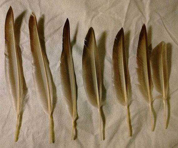 Seven Mallard Duck Wing Feathers Very Good Condition From