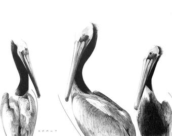 Black and White Drawing Print – Pelicans