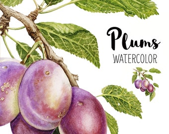 Plums watercolor, Plums illustration, Watercolor fruit, Realistic, Still life, Fruits, Clip art, Plums branch, Kitchen decor, Digital,