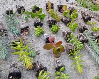 25 x Sedum mixed plug plants,Hardy UK Succulents,sedum,fairy garden,alpine.