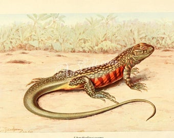 reptiles_and_amphibias-00662 - liolepis bellii, Common butterfly lizard, Leiolepis belliana vintage printable picture from ancient book jpg