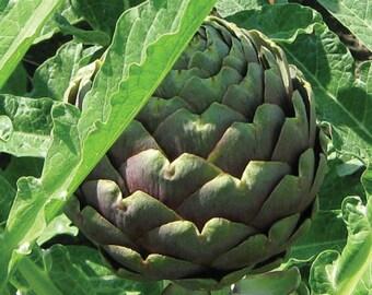 Artichoke Green & Purple Organic HEIRLOOM Seeds
