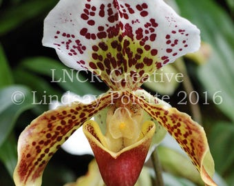 Lady Slipper Orchid Photo Unframed, Orchid Print, Flowers, Fine Art Photograph, Garden Print, Nature Photography