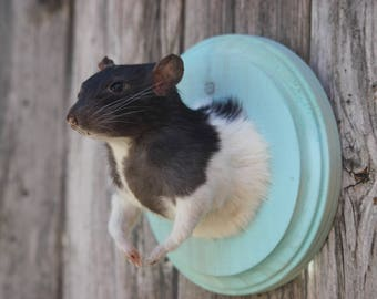Small Black and White Taxidermy Rat