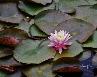 Water Lily photograph, Pond lily photo, water lily print, summer pond
