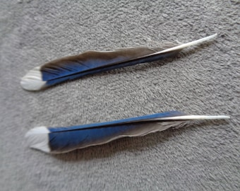 Real Blue Jay Tail Feather
