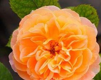 Rose Orange Twins Big Blooms Flower  50 Seeds flower diameter 18cm strong fragrant