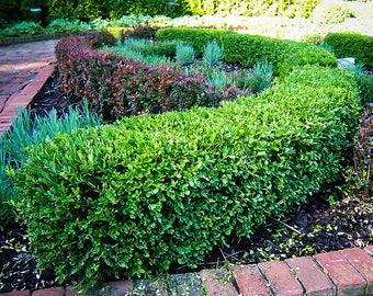 Wintergreen Boxwood 1 Gallon