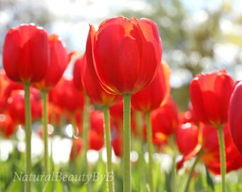 Red tulips art print, flower photograph, nature photography, floral wall art, bright red decor, fine art photo,flower gardens,tulip picture