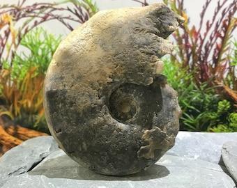 Giant Fossil Ammonite - Mamites nodosoides, Cretaceous, Morocco [FST406]